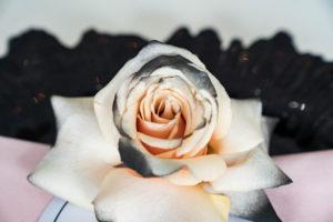 black tipped blush rose